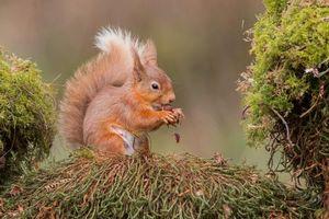 Photo free squirrel, ginger, animal