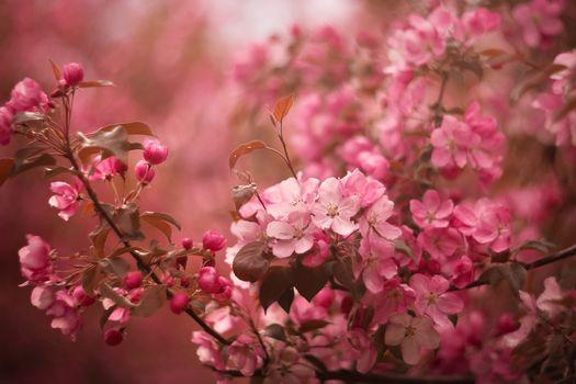 Фото бесплатно весна, Apple, цветение