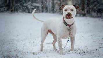 Фото бесплатно питбультерьер, собака, снег