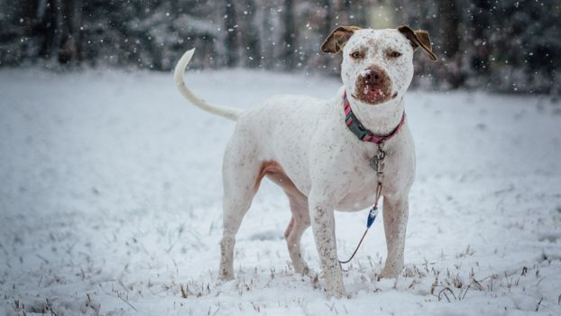 Photo free pit bull terrier, dog, snow