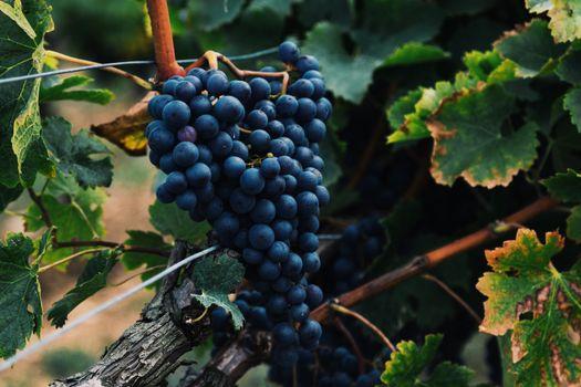 Фото бесплатно ягоды, виноград, гроздь