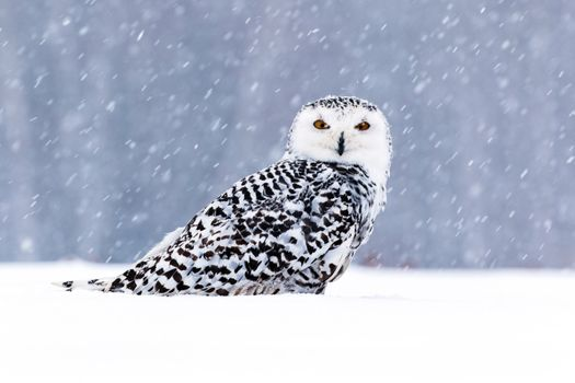 Заставки сова, сидит на снегу, птицы