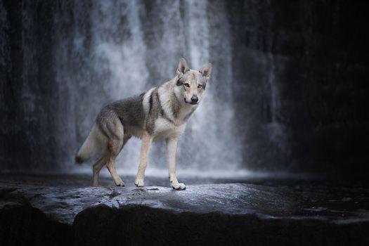 Photo free a predator, a wolf on a waterfall, an animal