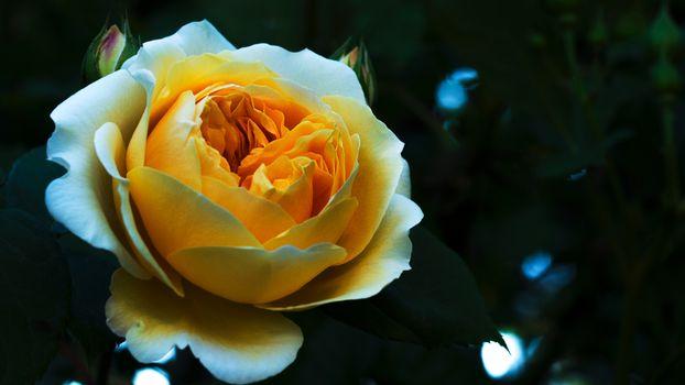 Photo free rose, white, yellow