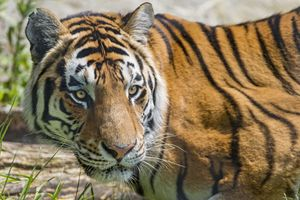 Заставки дикая природа, тигр, хищник
