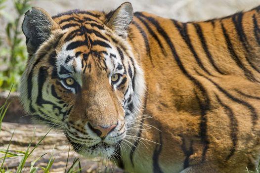 Фото бесплатно дикая природа, тигр, хищник