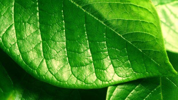 Photo free botany, macro, leaf