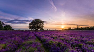 Бесплатные фото закат солнца,поле,цветы,лаванда,дерево,небо,пейзаж