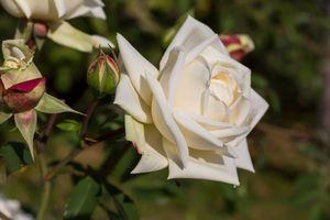 Цветок белой розы · бесплатное фото