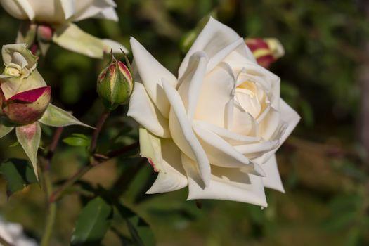 Цветок белой розы