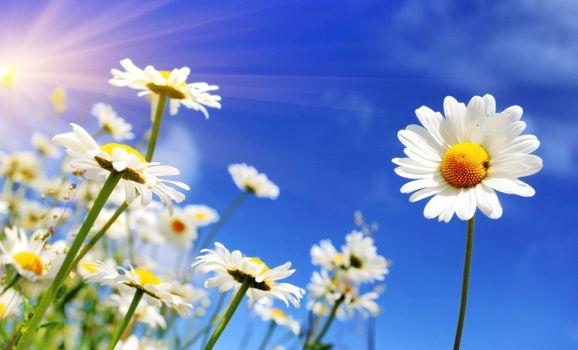 Photo free daisies, petals, summer