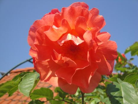 Rose in the sun - free photo
