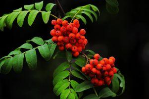 Фото бесплатно рябина, ветка, листья