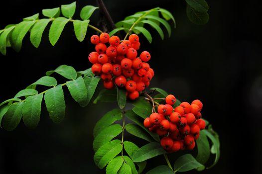 Заставки рябина, ветка, листья