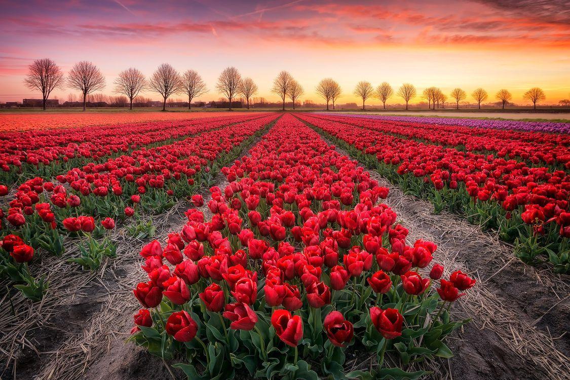 Фото бесплатно закат, поле, цветы, маки, пейзаж, пейзажи
