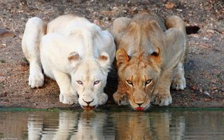 Фото бесплатно животные, природа, лев