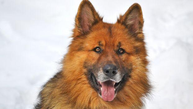 Фото бесплатно собака, щенок, язык