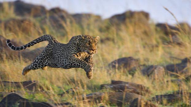 Photo free leopard, grass, run