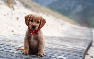Фото бесплатно собака, лабрадор-ретривер, милая
