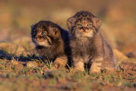 Заставки дикие кошки, милая, фотографии