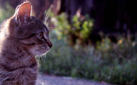 Photo free cat, tabby, view profile