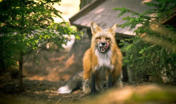 Photo free fox, predator, tongue