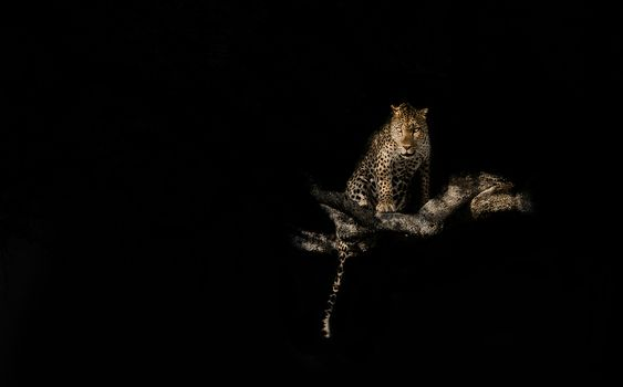 Фото бесплатно леопард на дереве, чёрный фон, хищник