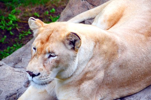 Photo free lion, predator, wild