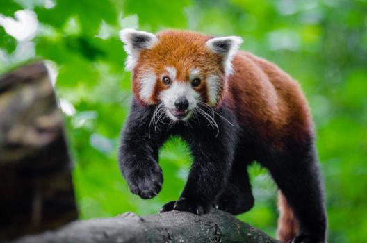 Фото бесплатно красная панда, милая, рок