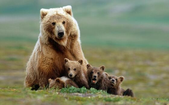 Photo free bears, baby animals, nature