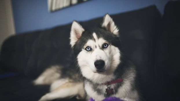 Заставки животные, Сибирский хаски, собака