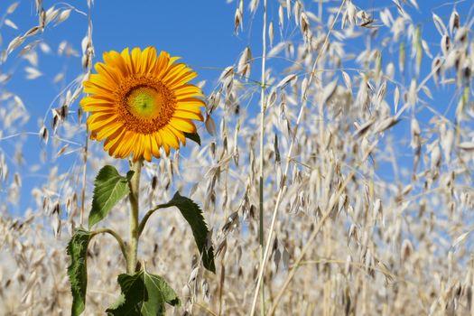 Фото бесплатно цветок, гелиант, колос