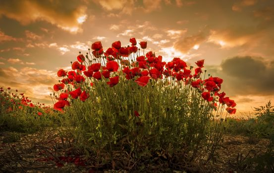 Photo free poppy, shrub, flowering