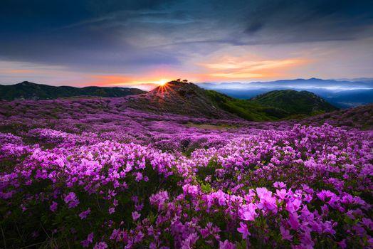 Photo free Azalea, Flower valley, Korea