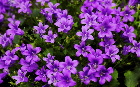 Photo free The flowers are lilac Campanula, flora, floral background