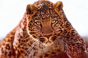Фото бесплатно усы, фауна, леопард