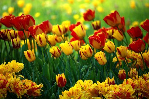 Photo free flowers, tulips, bright