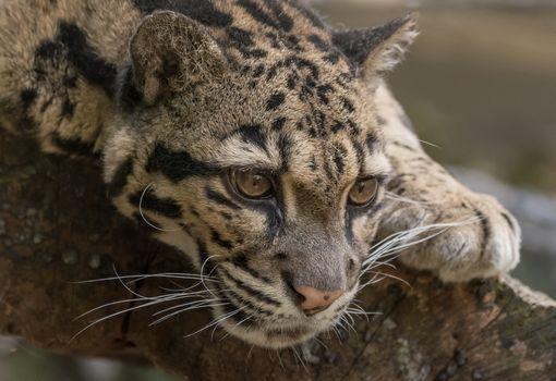 Photo free a young leopard, muzzle, predator