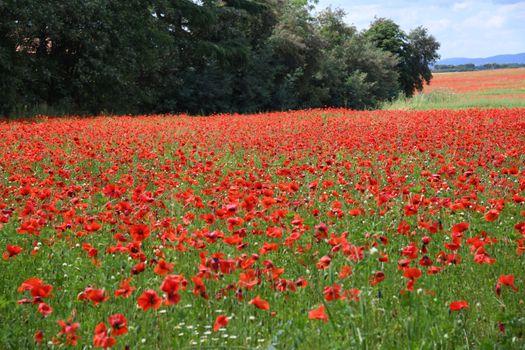 Photo free nature, red, papaver