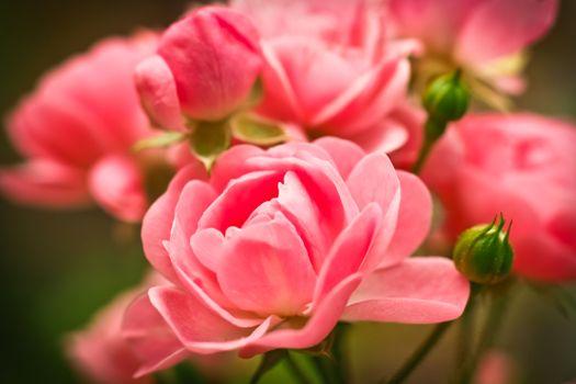 Фото бесплатно розовая роза, лепестки, недозрелый
