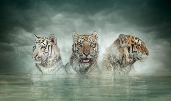 Фото бесплатно тигры, хищники, трое
