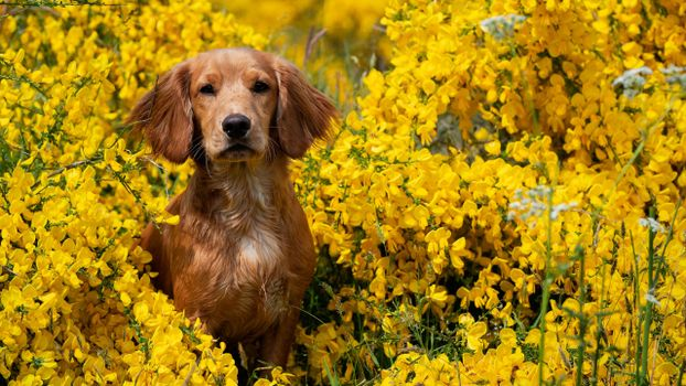 Фото бесплатно собака, жёлтые цветы, милая
