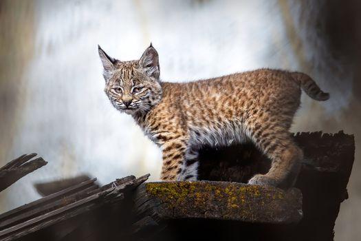 Photo free lynx, trotus, kitten