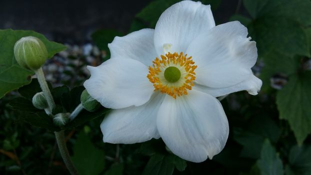 Photo free japanese anemone, white, petals