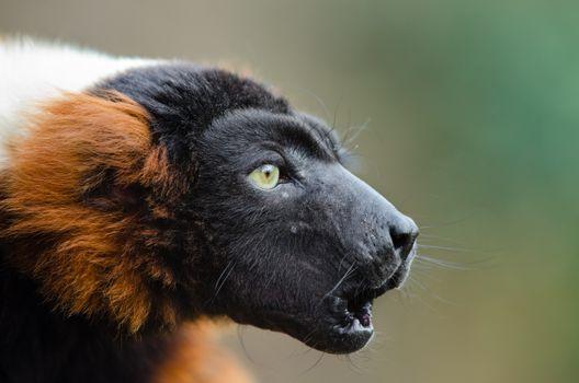 Photo free muzzle, ruffed lemur, profile view