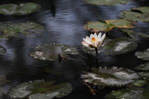 Фото бесплатно Water Lilies, водяная лилия, водяные лилии