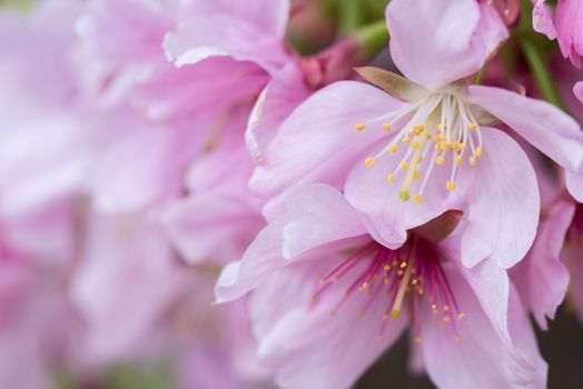 Фото бесплатно цветы, Cherry Blossoms, ветка, флора, весна, цветение, макро