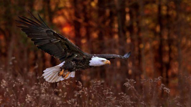 Фото бесплатно орел, полет, кусты