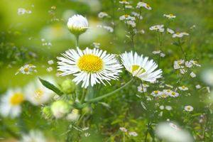 Фото бесплатно ромашки, флора, поле