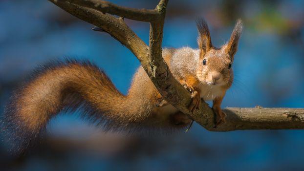 Фото бесплатно животное, на ветке, белка